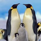 Emperor Penguins with chick, Aptenodytes forsteri, Antarctica