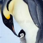 Emperor Penguin with chick on feet, Aptenodytes forsteri, Antarctica