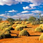Spinifex Grass in red sand, Triodia pungens, Strzelecki Desert, South Australia