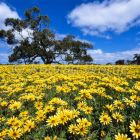 Flowering meadow, Arctotis spec., Kangaroo Island, South Australia