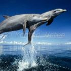 Dolphins leaping, Tursiops truncatus, Caribbean, South America