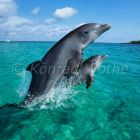 Dolphins leaping, Tursiops truncatus, Caribbean