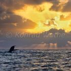 Humpback Whale diving, fluke, Megaptera novaeangliae, Caribbean, Silver Banks, Dominican Republic, South America