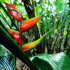 Heliconia in rainforest, Asa Wright Nature Reserve, Trinidad, West Indies, South America