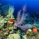 Banded Butterflyfish in Coral Reef, Chaetodon striatus, Honduras, Caribbean, South America