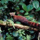 Ring-tailed Mongoose, Galidia elegans, Ranomafana, Madagascar