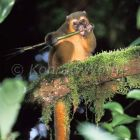 Golden Bamboo Lemur, male eating bamboo shoot, rainforest of Ranomafana, Hapalemur aureus, Madagascar