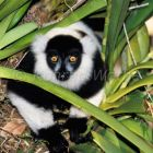 Black and white ruffed Lemur, Varecia variegata, Madagascar, captive