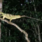 Parson's Chamaeleon, female catching cricket, Calumma parsonii, Perinet, Madagascar
