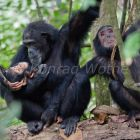 Schimpansen, Mutter mit Baby, Pan troglodytes, Mahale Mountains Nationalpark, Tansania, Ostafrika