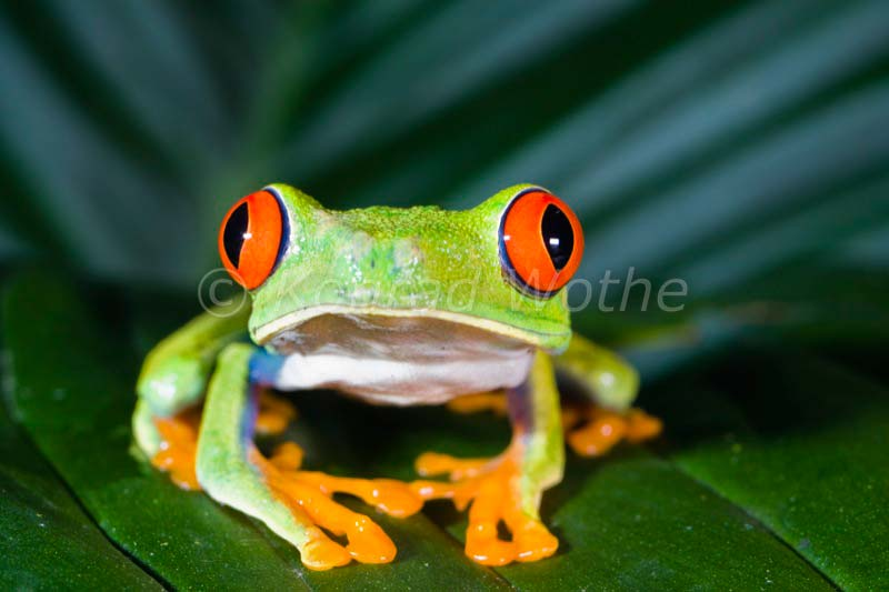 Costa rica moments of nature konrad wothe - Frosch englisch ...
