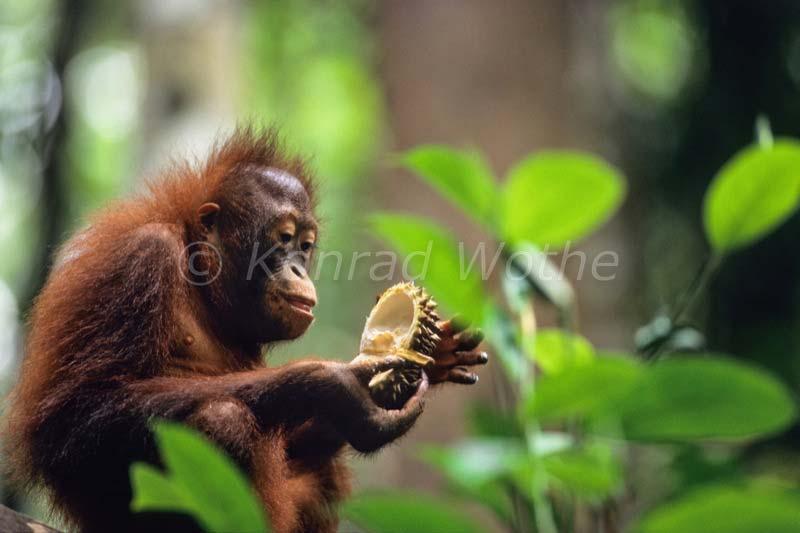 orangutans - moments of nature